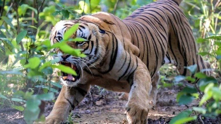 बाघको आक्रमणमा परी एकजना महिलाको मृत्यु
